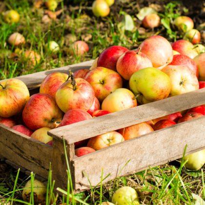 Streuobst Äpfel in der Holskiste